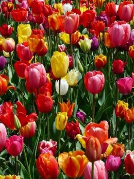 tulip field tulips tulpenbluete