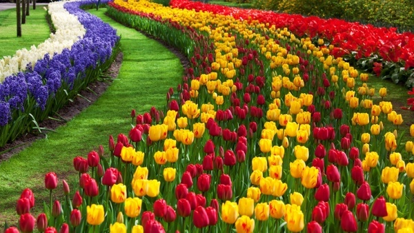 Free tulip flower images free stock photos download 10924 free tulip flower garden thecheapjerseys