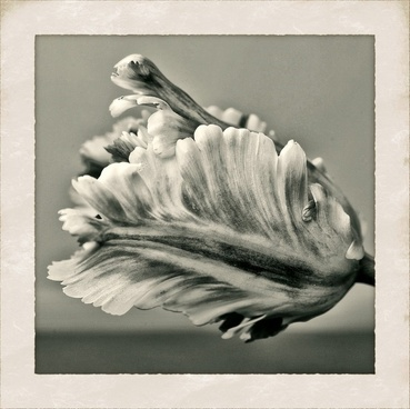tulip flower nature