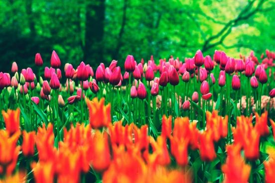 tulip flowers in field