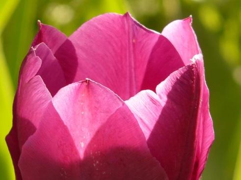 tulip pink back light