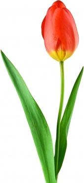 tulip red plant