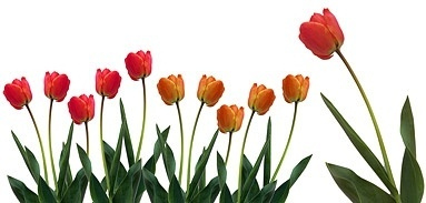 tulip stock photo