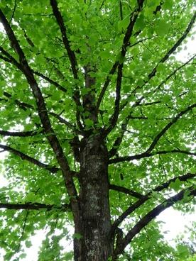 tulip tree tree leaves