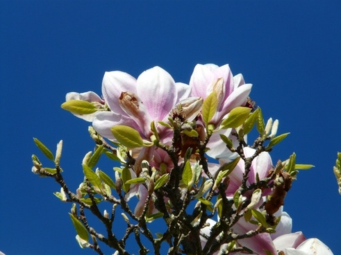 tulip-magnolia tree bush