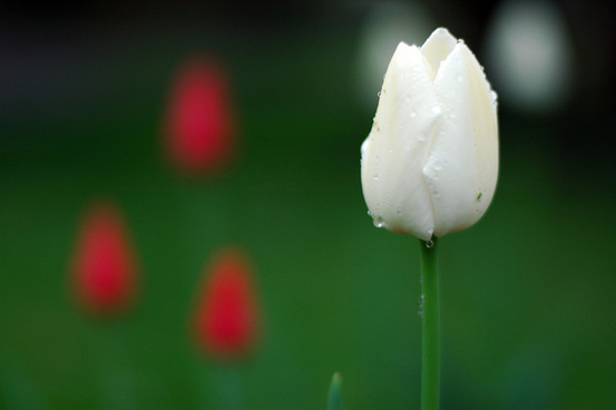 White tulips pictures free stock photos download 7560 free stock tulips mightylinksfo