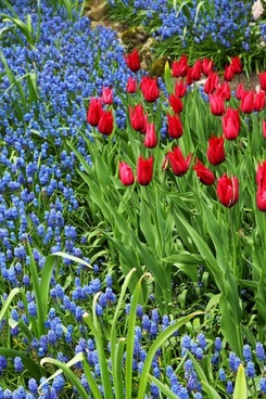 tulips and grape hyacinths