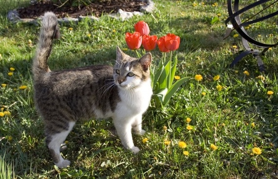 tulips and the cat