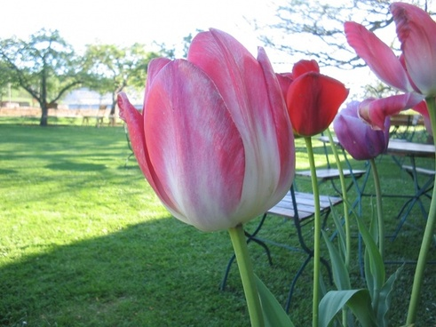 tulips color flower
