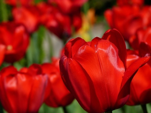 tulips flower nature