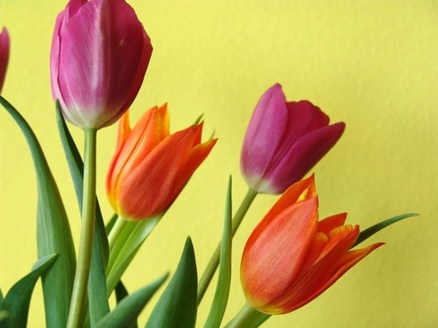 tulips flowers color
