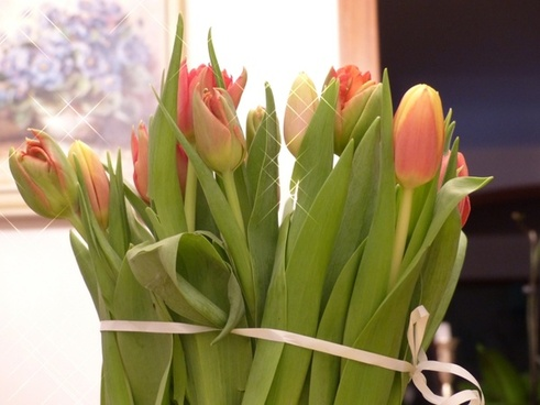 tulips flowers tulip