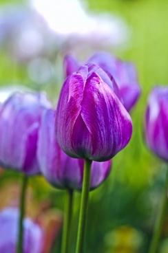 tulips garden flowers