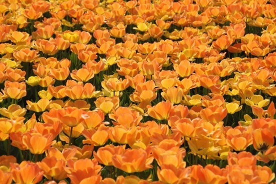 tulips holland tulip fields