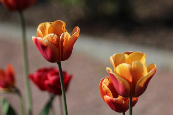 tulips in trdgrdsfreningen