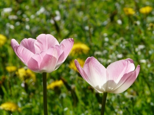 tulips pink white