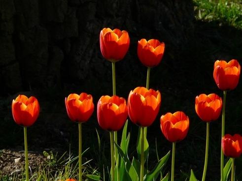 tulips red back light