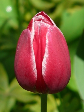 tulips red white