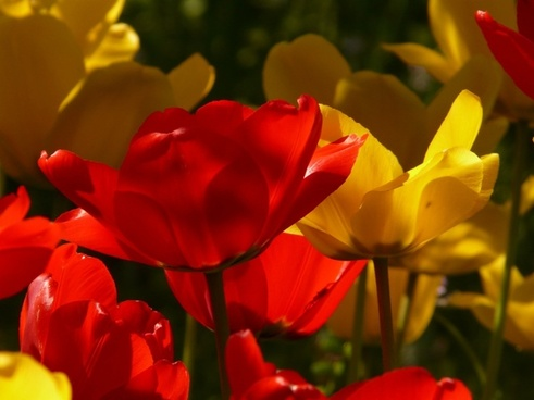 tulips red yellow