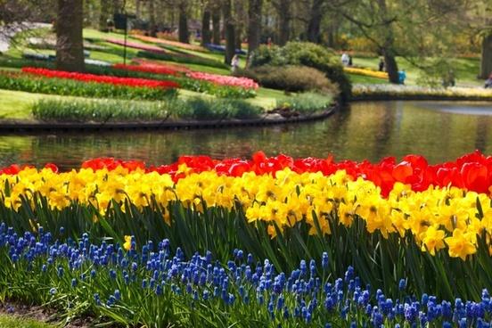 tulips tulip daffodils