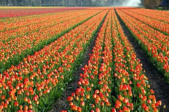tulips tulip field