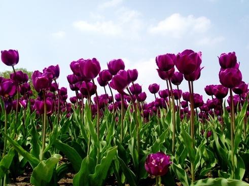 tulips tulip field nature