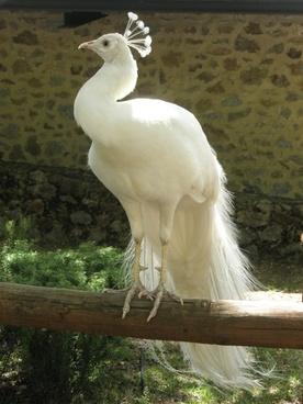 turkey peacock ave