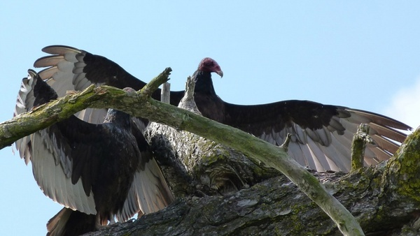 turkey vulture 593