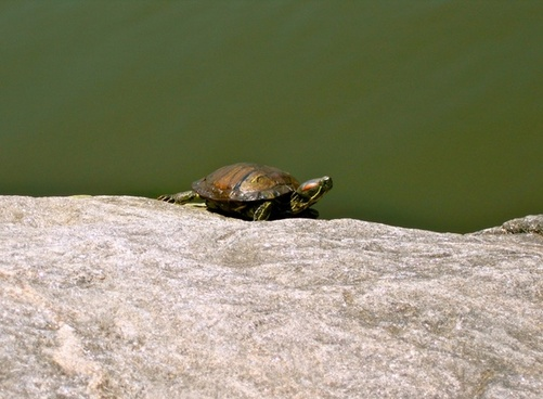 turtle animal amphibian