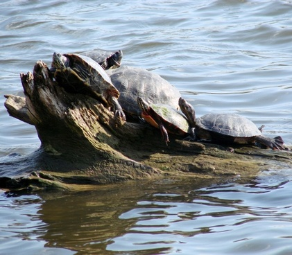 turtle pile up