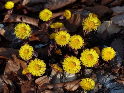 tussilago farfara flower yellow