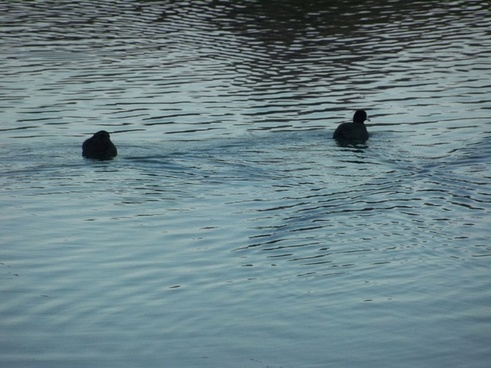 two american coots