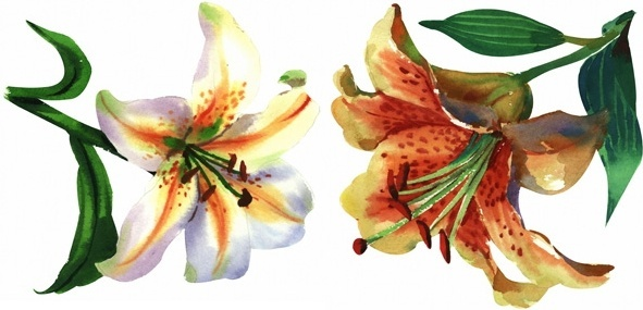 two handpainted watercolor lilies hd picture