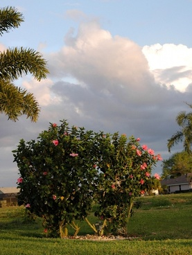 two hibiscus bushes