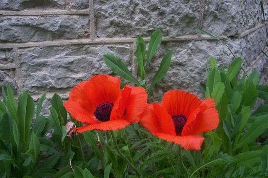 two poppy flowers