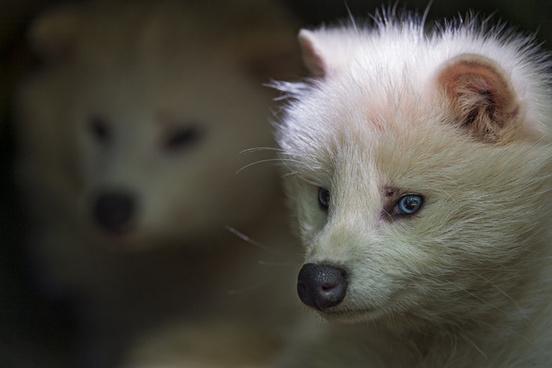 two raccoon dogs