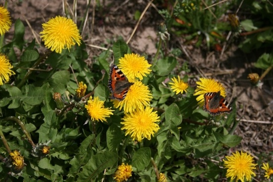 two red admirals on dandelions