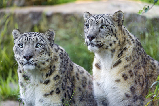 two snow leopards