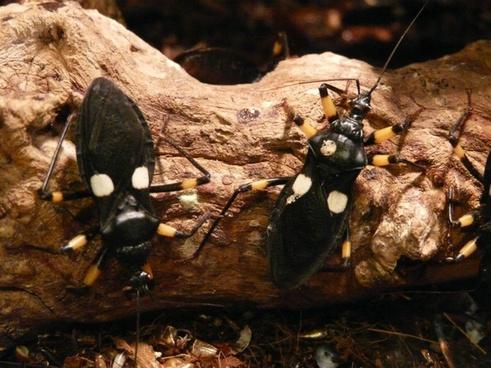 two spot raubwanze raubwanze bug