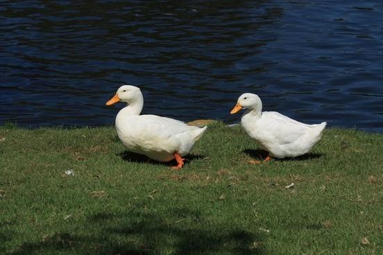 two white waddling ducks
