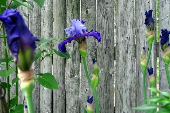 twotone purple irises