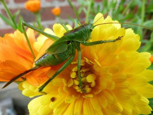 una sauterrelle insect flower