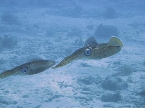 underwater dive squid