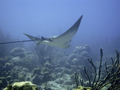 underwater diving ray