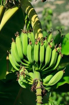 unripe bananas
