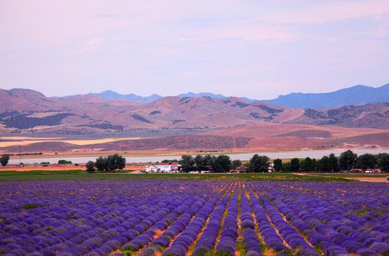utah lavender field