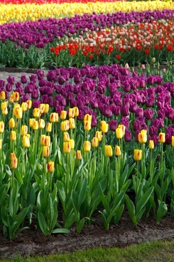 various tulips