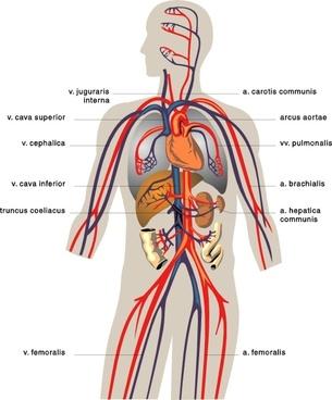 Veins Medical Diagram clip art