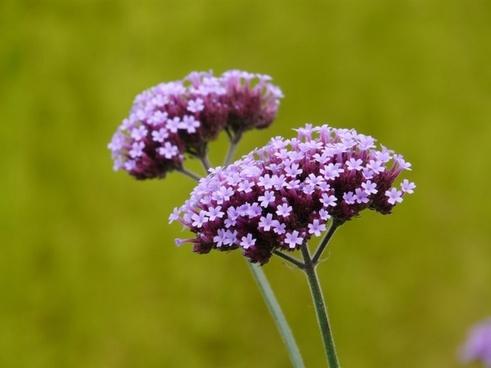 verbena plant flower