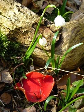 vermilion kelchbecherling mushroom scarlet kelchbecherling